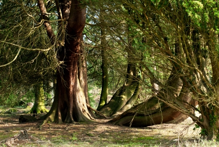 Several twisted trees in the Scottish countryside photo