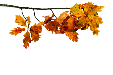 Oak branch with dry yellow leaves on a white background photo