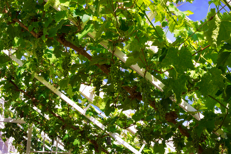 Bunches of green grapes maturing on a vine