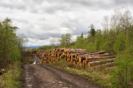 Timber harvesting in Scottish Highlands - woodpiles on the sides of the road in the forest 写真素材