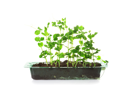 Sweet pea green sprouts in a plastic box isolated on a white background 写真素材