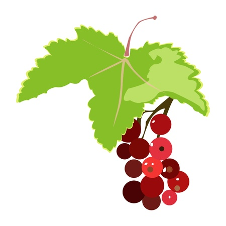 red currant: bunch of red currant illustration isolated on white