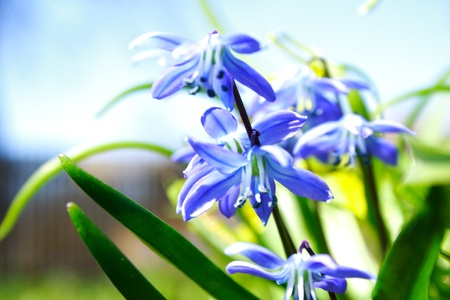 Close view of the blue flowers in spring photo
