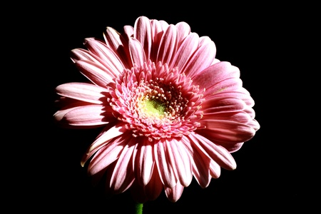 zoomed: Zoomed foto of pink flower on black background