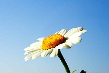 zoomed: Zoomed foto of chamomile head on blue sky
