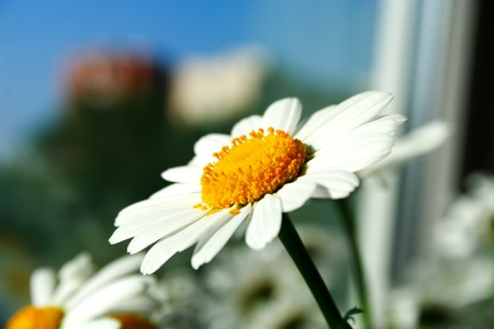 zoomed: Zoomed foto of chamomile head on feculent background