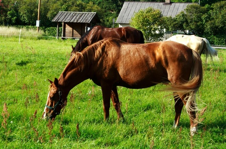 Brown horse eating fresh grass at green meadow Stock Photo