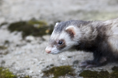 stoat: Ferret thinking about who he will catch today