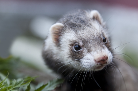stoat: Zoomed ferret face with dirty nose looking somewere