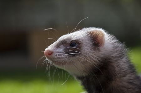 Satisfied ferret posing on camera on green field Stock Photo