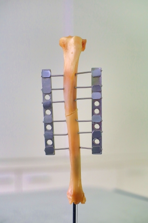Human leg or hand bone as laboratory object photo