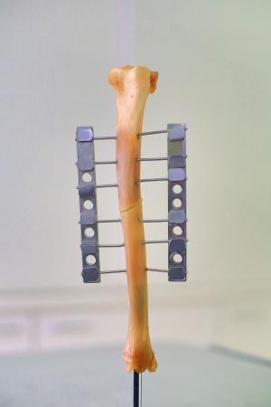 Human leg or hand bone as laboratory object photo