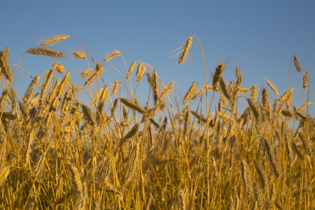 Foto of meadow on growing two yellow rye