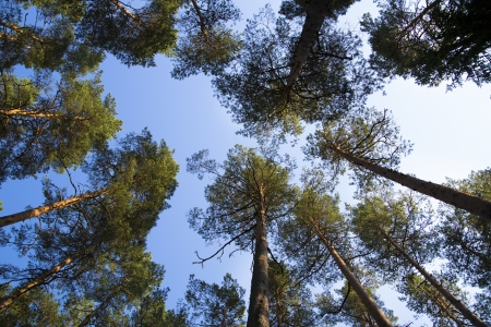 they are watching: Watching on pines from ground to they treetop Stock Photo