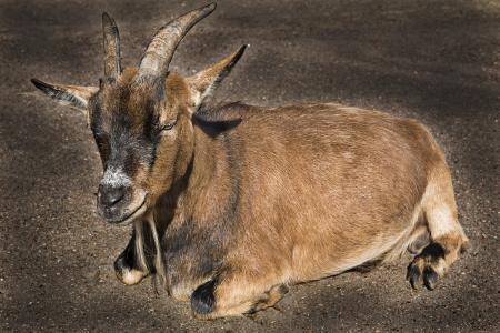 Brown goat lay on asphalt and feel calm photo