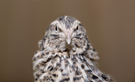 Young quail looking at camera with keen interest photo