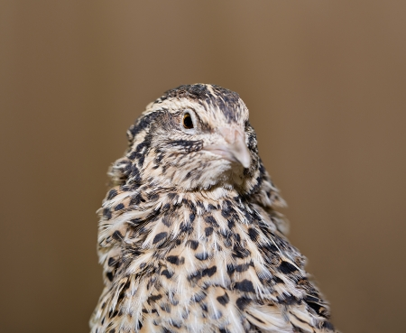 Young quail looking at another direction with care photo