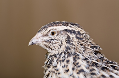 Zoomed young quail head is photographed from left photo