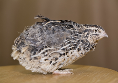 Young quail head is placed at table top photo