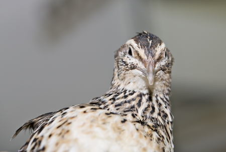 Young quail look is turned at camera flash photo