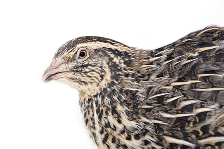 Angry quail is photographed on white textile background photo