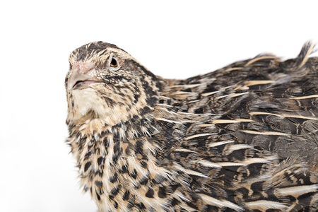 Unhappy quail is photographed on white textile background photo