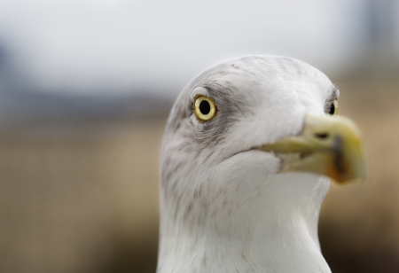 zoomed: White seagull zoomed face pointed at camera focus