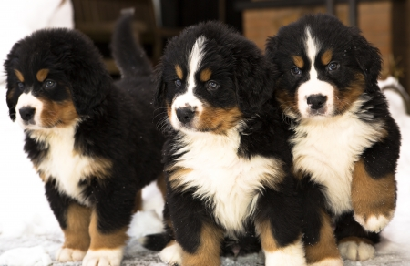 Bernese mountain dog puppets watching seriously after movement photo