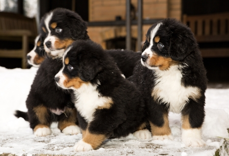 Bernese mountain dog puppets ready to join game photo