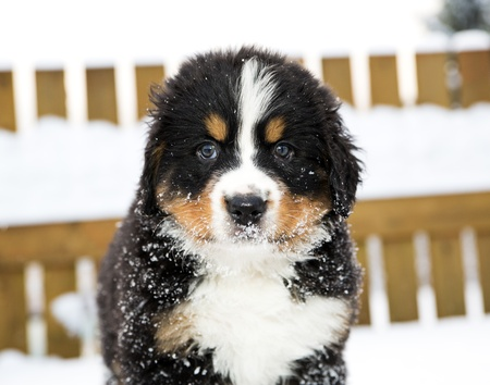 Bernese mountain dog puppet look staightly at camera photo