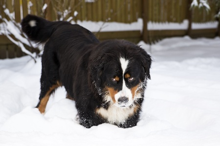 Bernese mountain dog puppet mother stucked at snow photo