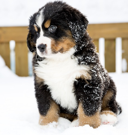Bernese mountain dog puppet looking curiously after movement photo