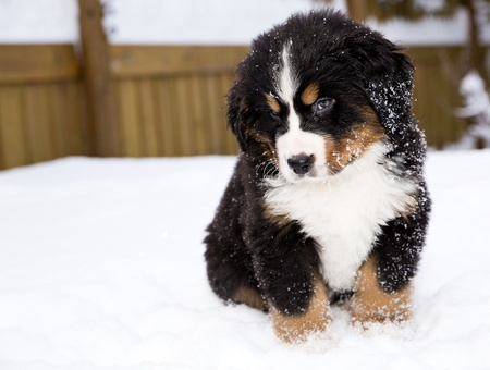 Isolated bernese mountain dog puppet is looking carefully photo