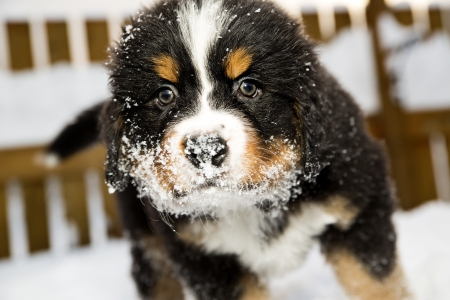 Isolated bernese mountain dog puppet is sniffing camera photo