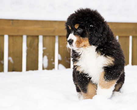 Isolated bernese mountain dog puppet waiting his chance photo