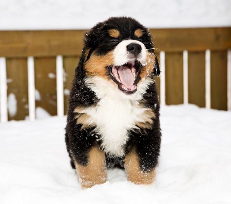 yawing: Isolated bernese mountain dog puppet is yawing widely
