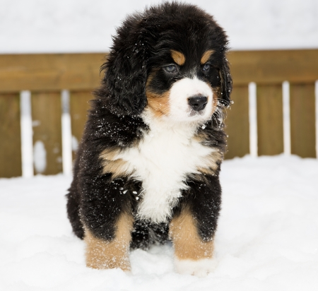 paw smart: Isolated bernese mountain dog puppet patience is down
