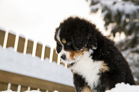 Isolated bernese mountain dog puppet looking from above photo