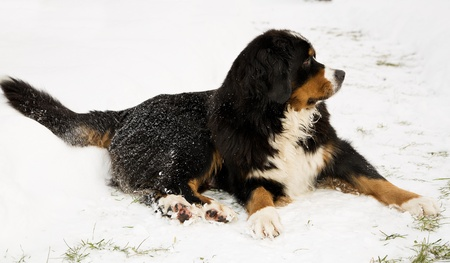 Bernese mountain dog puppet mother worried about puppets photo