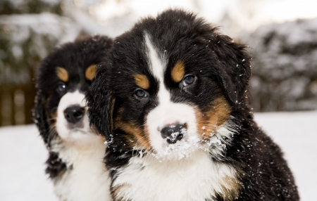 Two bernese mountain dog puppest looking at camera Stock Photo