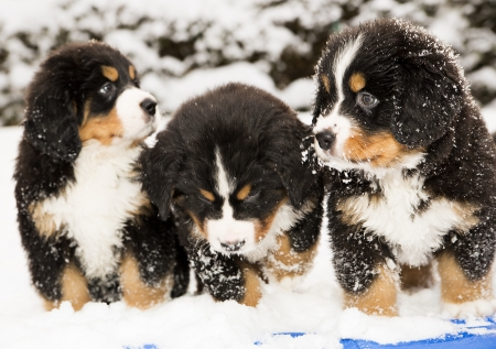 Bernese dog puppest are halfly snowy and wet Stock Photo
