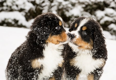 paw smart: Snowy bernese mountain dog puppets sniff each others Stock Photo