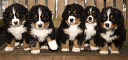All bernese mountain dog puppets are finaly home photo