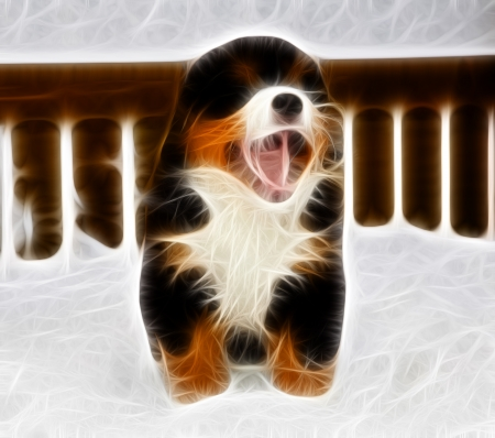 Isolated bernese mountain dog puppet is yawing widely photo