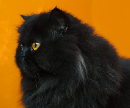 zoomed: Black male cat zoomed profile at orange background Stock Photo