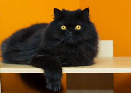 Black male cat taking rest at orange background photo