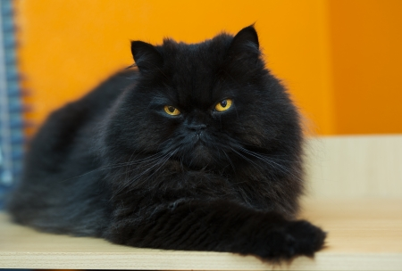Black male cat express anger at orange background Stock Photo - 21926915