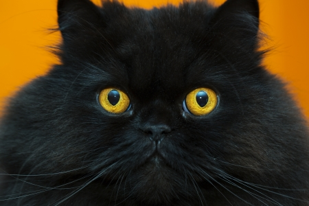 Zoomed  frightened black male cat at orange background Stock Photo - 21926917