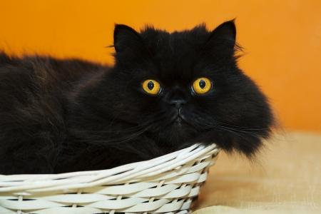 Funny male cat in basket on orange background Stock Photo - 21926921