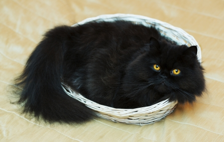Satisfied male cat in basket on beige background photo